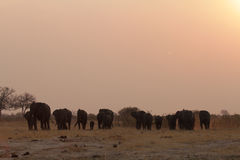 A Herd of Elephants at sunset Royalty Free Stock Images