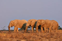 Herd of elephants. Elephants at sunset in the 'Etosha National Park Stock Images