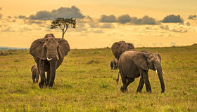 Herd of elephants at sunset. A herd of elephants (Loxodonta africana) with two babies, Maasai Mara National Reserve, Kenya royalty free stock images