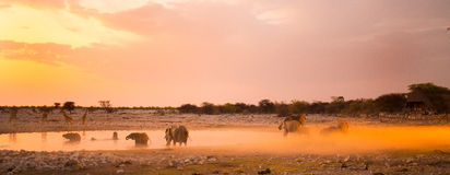 A herd of elephants at sunset next to a waterhole Stock Image