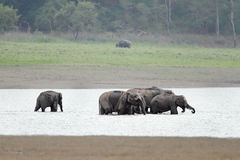 A herd of elephants taking bath in Ram Ganga river Royalty Free Stock Photography