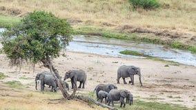 Herd of Elephants, Tarangire National Park, Manyara, Tanzania, A. Herd of nine baby and adult elephants graze near the Tarangire river, Tarangire National Park Royalty Free Stock Photography
