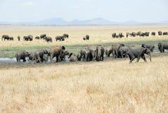 Herd of elephants, Tarangire National Park, Tanzania. Herd of  elephants, Tarangire National Park, Tanzania Royalty Free Stock Photography