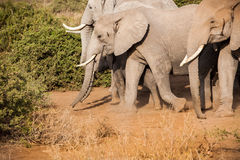 Heard of wild Africa elephants Royalty Free Stock Photo