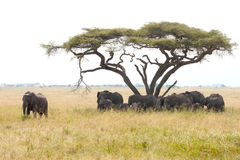 Herd of elephants under a wattle with male guarding Stock Photography
