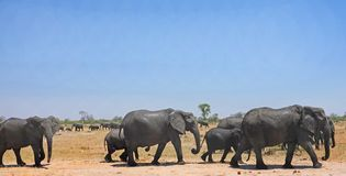 Herd of Elephants waling across the dry sandy savannah with a clear blue sky and natural background with another herd. Large Herd of Elephants walking across the stock photography