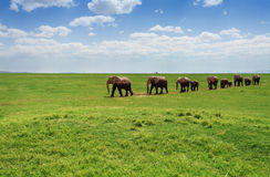 Herd of elephants walking at the African pasture Royalty Free Stock Images
