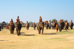 Herd Elephants Walking Field Spread Royalty Free Stock Images
