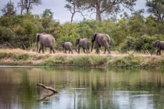A herd of Elephants walking on the road. A herd of Elephants walking in the Sabi Sand Game Reserve, South Africa Stock Images