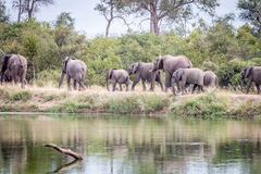 A herd of Elephants walking on the road. A herd of Elephants walking in the Sabi Sand Game Reserve, South Africa Royalty Free Stock Photography
