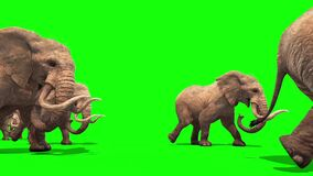 Herd of Elephants Walking Side Green Screen