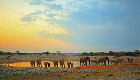 Herd of elephants at a waterhole. Large herd of elephants drinking at a at a waterhole in Etosha national park at dusk royalty free stock image