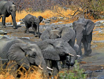 Herd of elephants at a waterhole Stock Photos