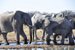A Herd of elephants at the waterhole in Namutomi stock image