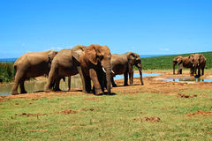 Herd of Elephants at a watering hole. Stock Photo