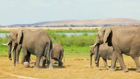 Herd of Elephants at the Watering Hole Goes. Close-up of a large herd of elephants comes to watering stock footage