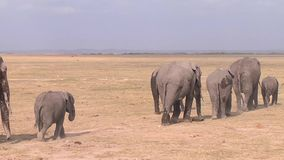 Herd of elephants at the watering hole goes. Stock Photos