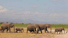 Herd of elephants at the watering hole goes. Royalty Free Stock Images