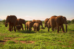 Herd of elephants in the wild. Africa. Royalty Free Stock Photo