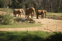Elephants in nc zoo royalty free stock photography