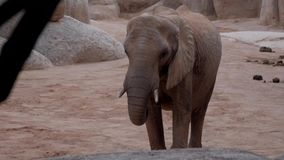Herd of elephants a zoo off valencia spain. African stock video