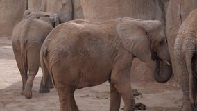 Herd of elephants a zoo off valencia spain. African stock video footage