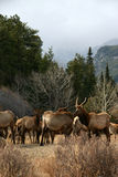 Herd of elk Royalty Free Stock Images