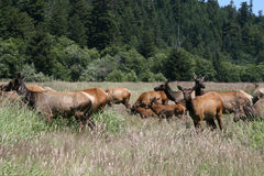Herd of elk, adults and calfs Stock Photography