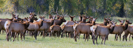 Elk herd. This is a herd of elk with a big bull in the middle stock photo