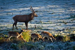 Herd of elk and deer looking at the sunrise royalty free stock images