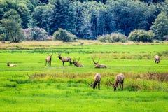 Herd of elk grazing in a meadow stock images