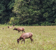 Herd of Elk in the Great Smoky Mountains with a bull Stock Photography