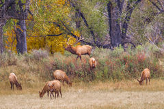 Herd Of Elk. Large Male Elk Herding Group Of Females During The Rut, Slippery Ann Elk Viewing Area, Charles M. Russel National Wildlife Refuge, Montana Royalty Free Stock Images