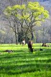 Herd of elk lounging in a field. stock photo