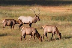Herd of Elk Stock Image
