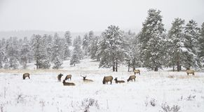 Herd of elk in a mountain meadow in winter Royalty Free Stock Images