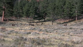Herd of Elk in Rut stock footage