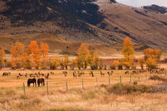 Herd of Elk Sharing Field With Horses Royalty Free Stock Image
