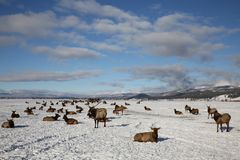 A herd of elk. On a snowy day outside of Donalley, Idaho royalty free stock photography