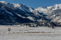 Herd of Elk in Snowy Valley of Rocky Mountain National Park. A large harem of elk graze in a snow covered field in the Colorado wilderness Royalty Free Stock Image
