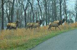 Herd of Elk Starting to Cross a Road stock photography