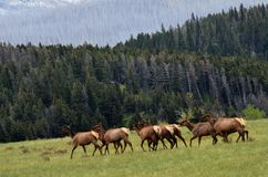 A Herd of elk crossing a field ! stock photography