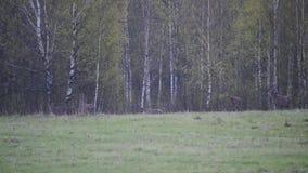 Herd of Elks Cervus elaphus in birch forest