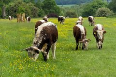 A herd of English longhorn cattle royalty free stock photos