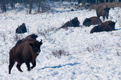 Herd of European Bison (Bison bonasus) resting Stock Photography