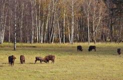 Herd of European Bisons Royalty Free Stock Photo