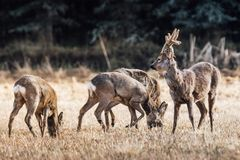 Herd of european roe deers grazing in a yellow field Stock Photography