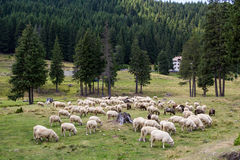 Herd of the ewes Royalty Free Stock Image