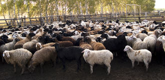 Herd of the ewes Stock Images