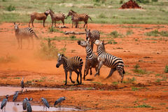 Herd of faithing zebras on african savannah Stock Photo